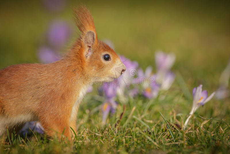 春天灰鼠 库存图片