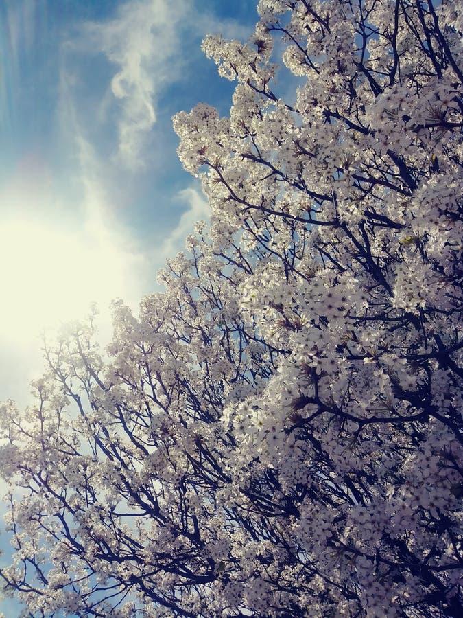 春天白色樱桃树绽放 免版税库存照片