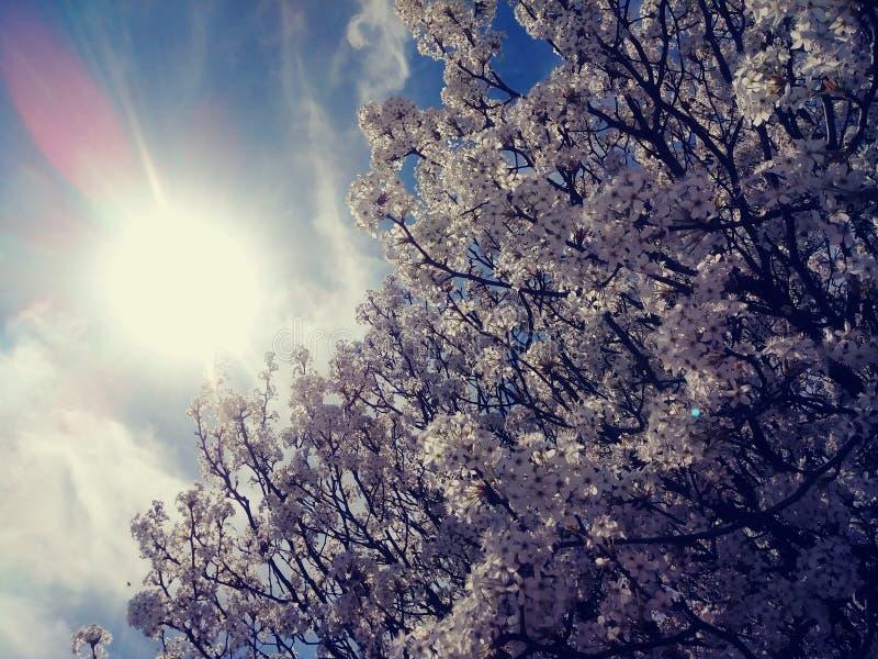 春天白色樱桃树绽放 免版税库存图片