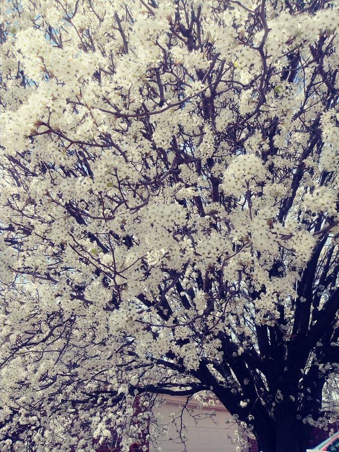 春天白色樱桃树绽放 图库摄影