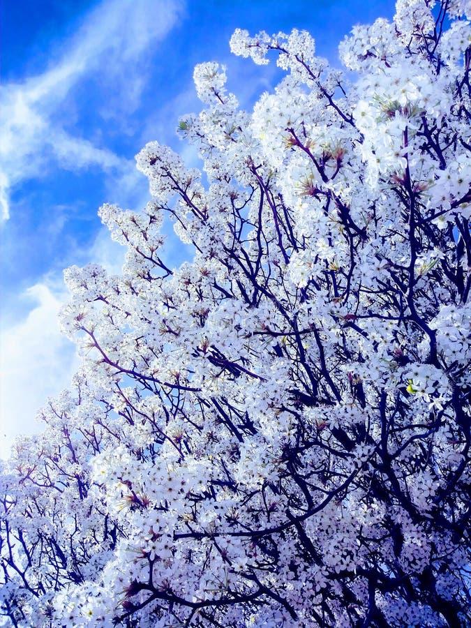 春天白色樱桃树绽放 库存照片