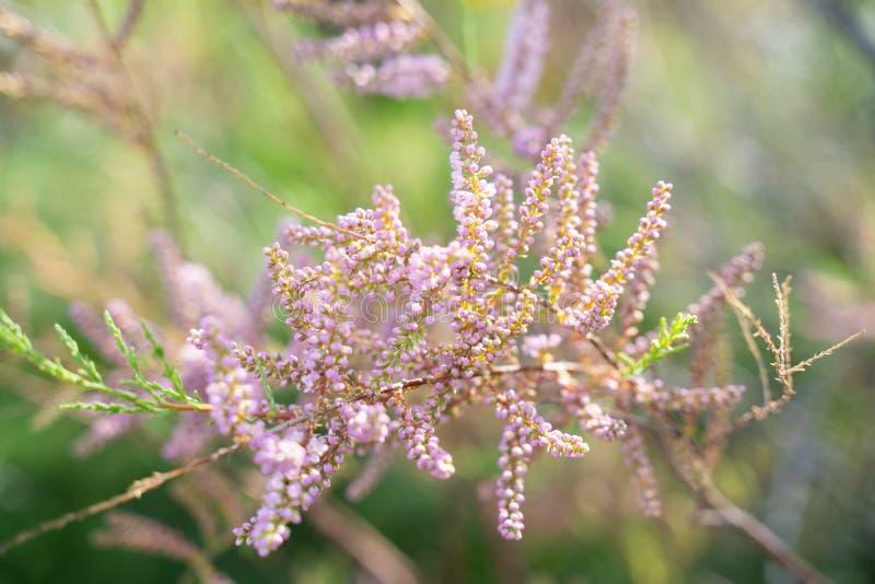 春天的开花的石南花家庭植物在拉纳卡盐湖 免版税库存照片