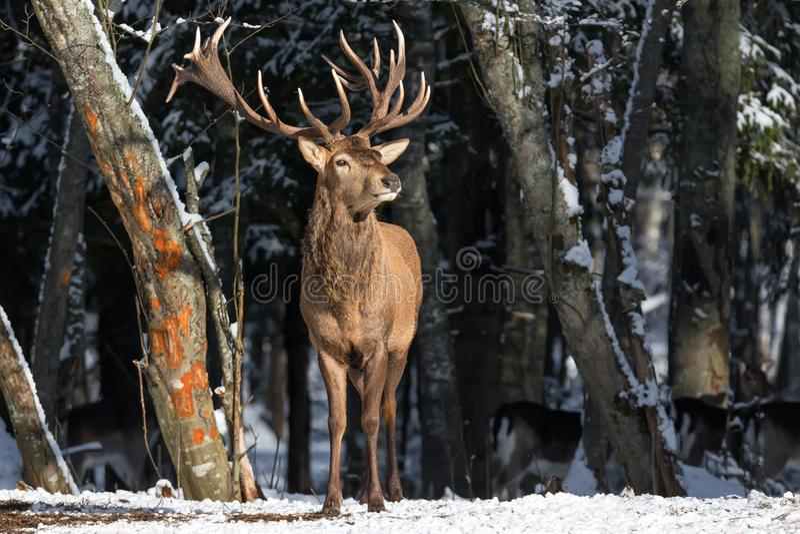 春天的气味:呼吸新鲜的春天空气的鹿 与伟大的高尚的鹿鹿elaphus的野生生物风景 在Th的壮观的鹿 图库摄影