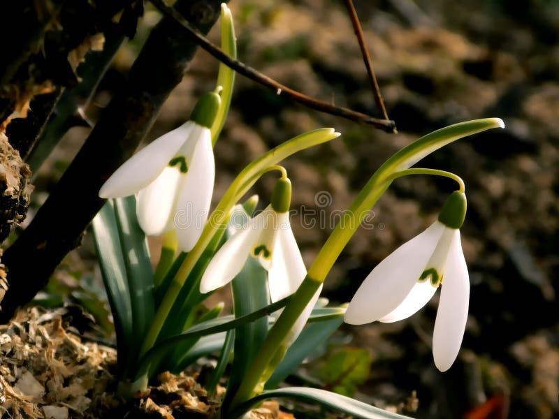 春天的第一个标志 免版税图库摄影