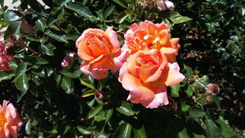 春天的第一朵玫瑰 库存照片