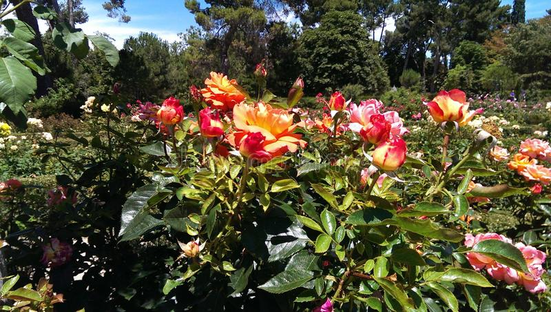春天的第一朵玫瑰 免版税库存照片