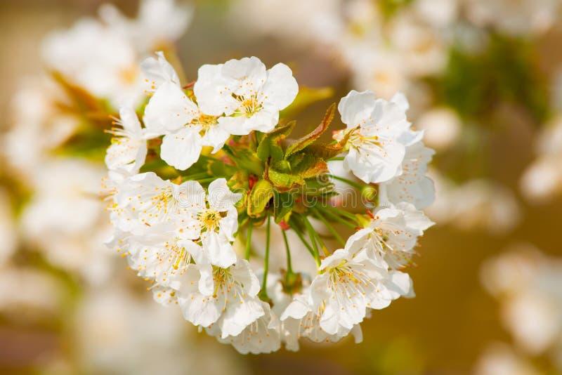 春天第一朵白色小花 图库摄影