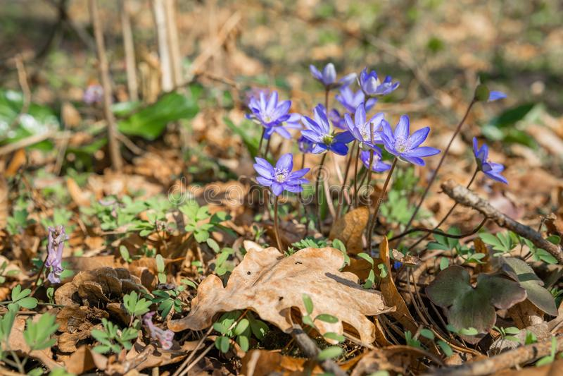 春天紫色在花在春天有一朵美丽的蓝色花的森林开花的森林里开花Hepatica nobilis 库存图片