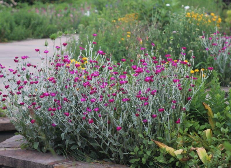 春天紫色开花在庭院里 免版税库存图片