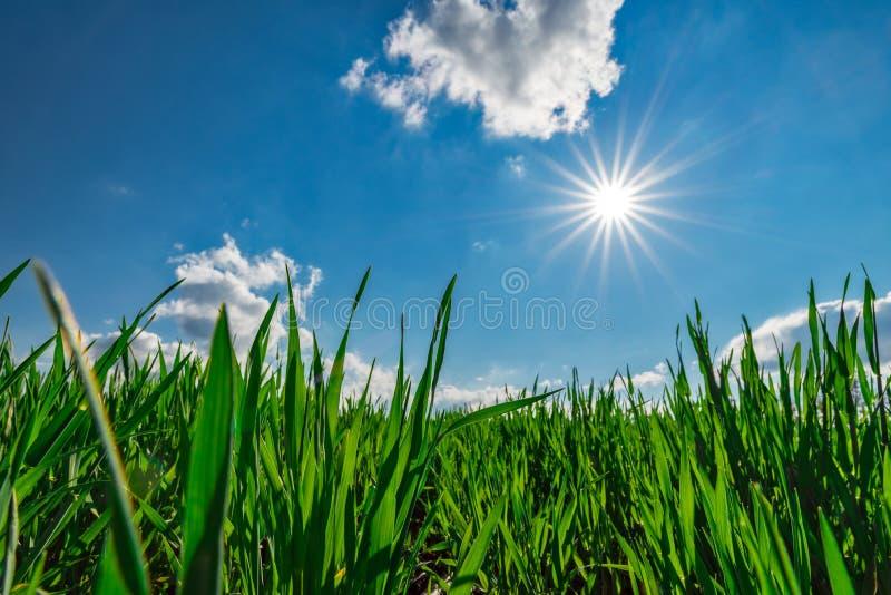 春天绿色麦田农业土地太阳星 库存照片