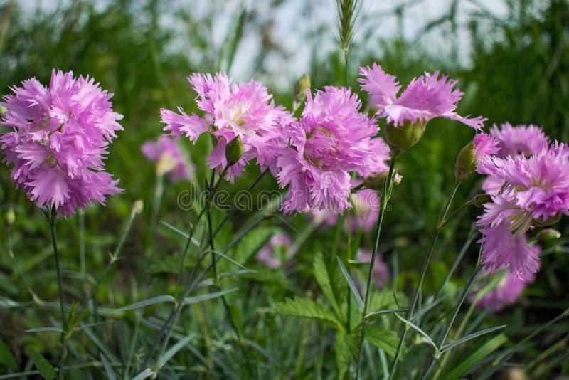 春天美丽桃红色的康乃馨和高雅花 库存照片