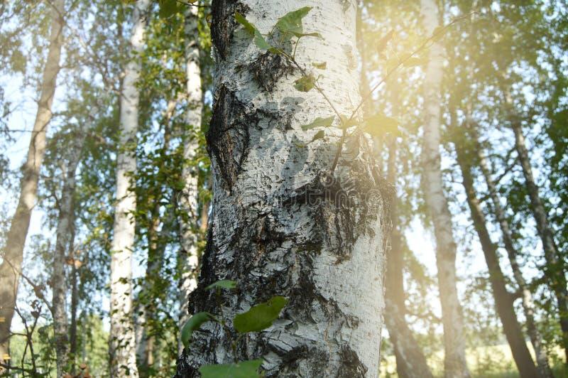 春天背景是与阳光和强光照亮的年轻绿色叶子的一个桦树 在的美好的春天风景 免版税库存图片