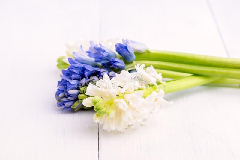 春天背景有与春天的风信花背景开花白色和蓝色风信花花束在一个白色背景拷贝温泉的 免版税库存图片