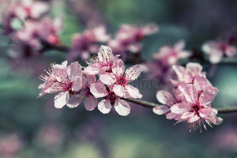 春天背景,樱桃树开花,葡萄酒过滤器 免版税库存照片