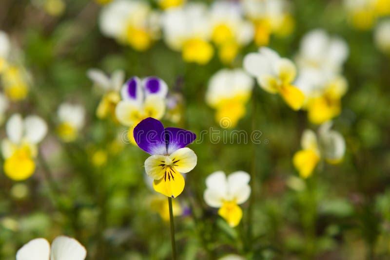 春天自然共同的紫罗兰背景 三色的中提琴,蝴蝶花花在春天森林和水接近  库存照片