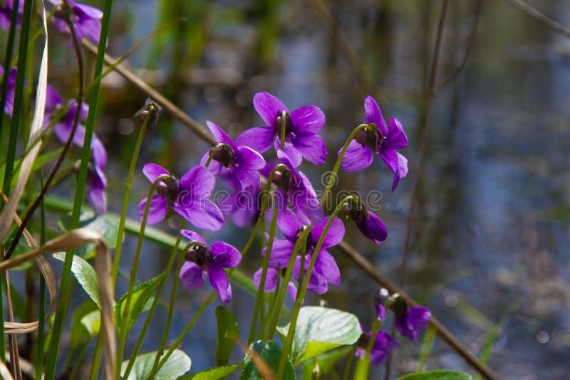 春天自然共同的紫罗兰背景 中提琴在庭院关闭的Odorata花 选择聚焦 免版税库存照片