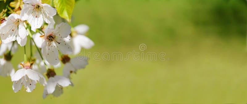 春天自然开花网横幅 免版税库存图片
