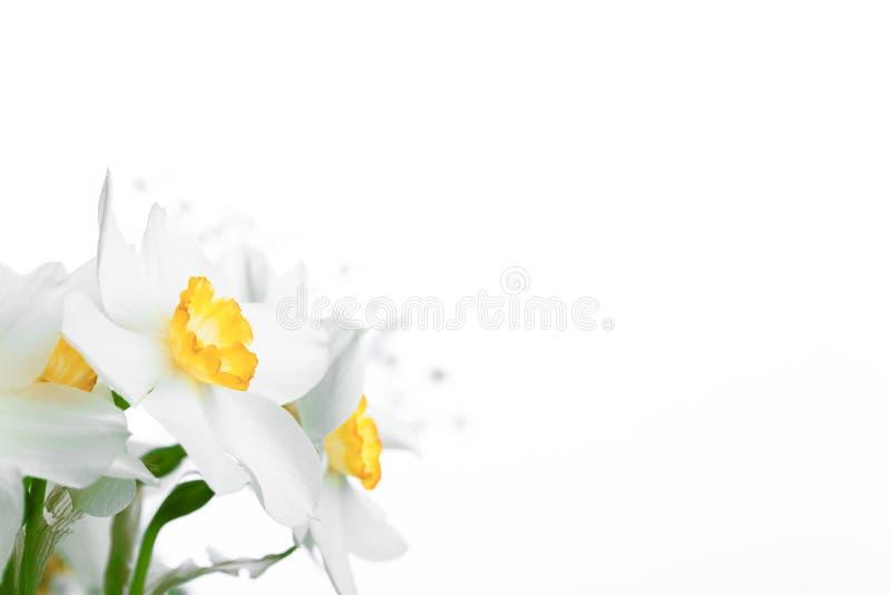 春天花卉边界,美丽的新鲜的水仙开花 库存照片