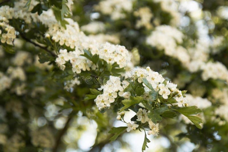 春天花开花的树背景,夏时 免版税图库摄影