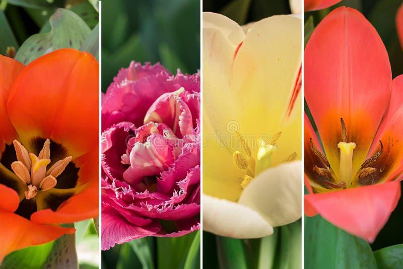 春天花拼贴画,四关闭张开了郁金香不同的培育品种和类型的芽,水平 免版税库存图片