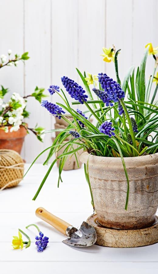 春天花穆斯卡里和水仙在罐 库存图片