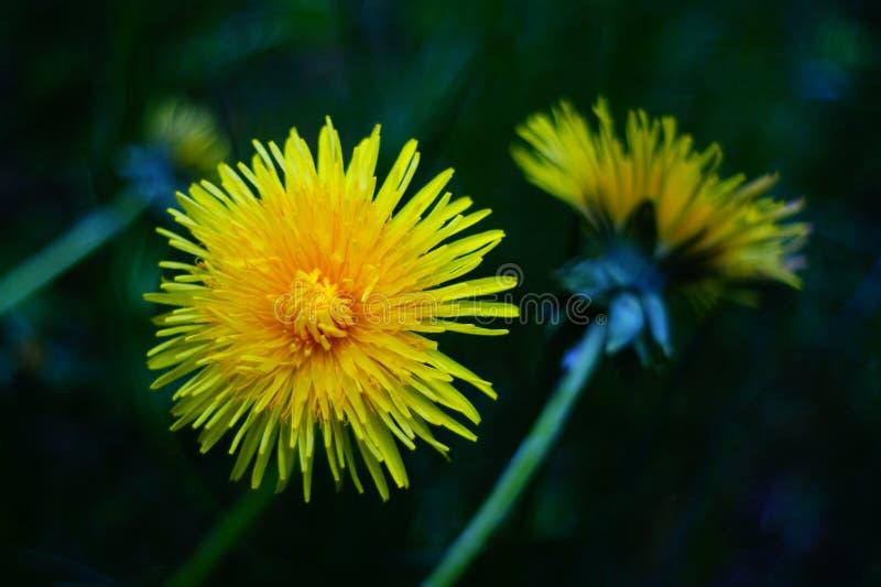春天花,强烈地黄色蒲公英,裂缝合拢植物,草本 库存照片
