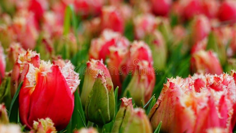 春天花:关闭与独特的纹理的明亮的红色郁金香有被弄脏的背景 图库摄影