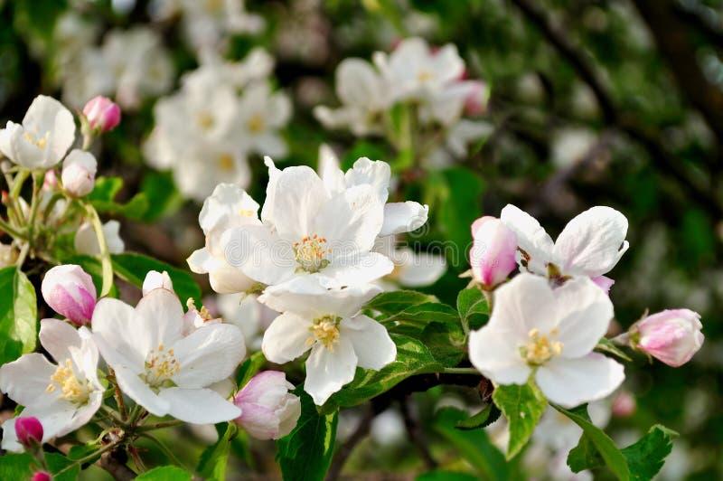 春天蘋果在開花-春天花卉背景開花圖片