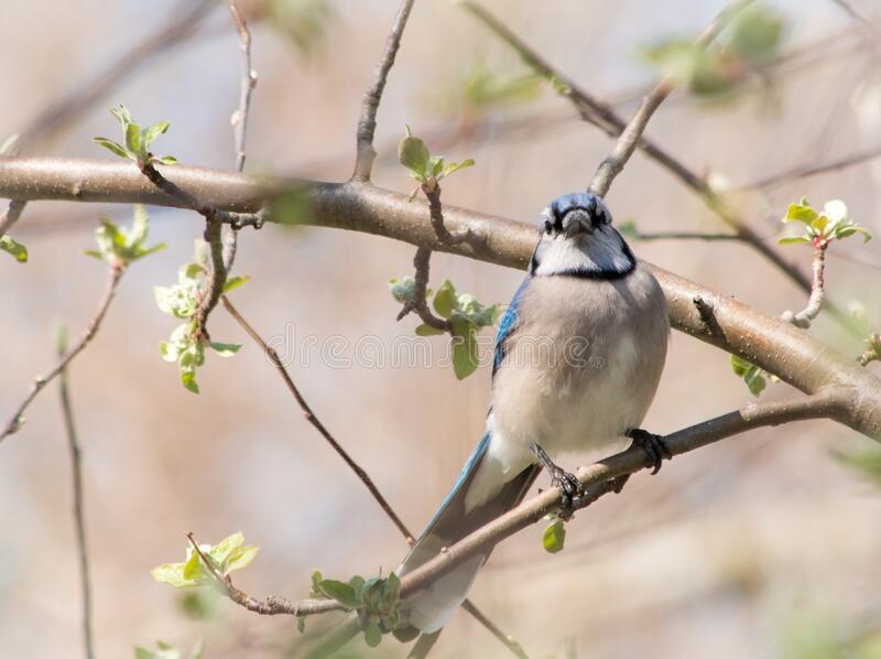 春天苹果树上的蓝鸦 免版税库存照片