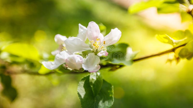 春天苹果树,白花,桃红色芽,太阳轻淡色定调子 免版税库存图片