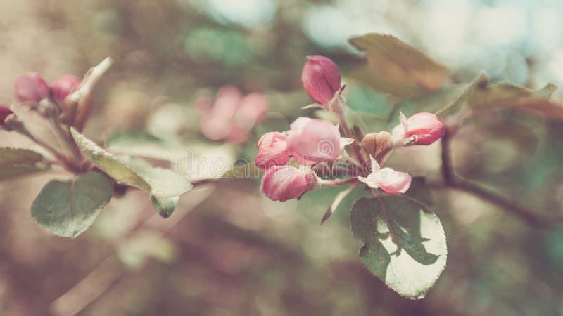 春天苹果树,白花,桃红色芽,太阳轻淡色定调子 库存照片