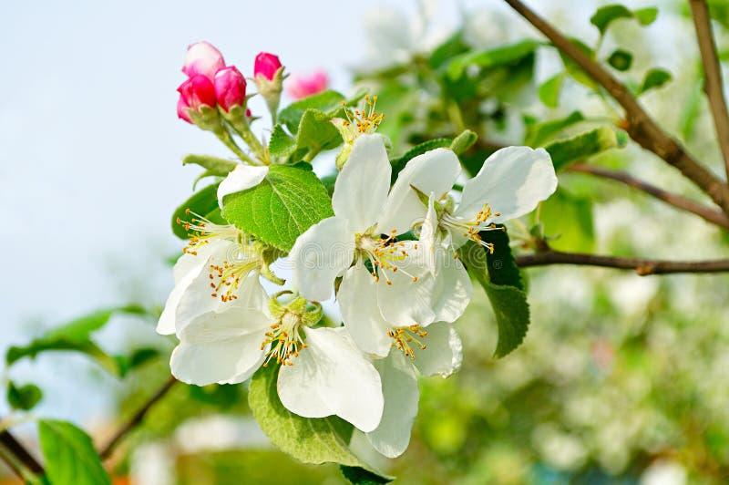 春天苹果特写镜头在开花-春天花卉背景开花 免版税库存照片