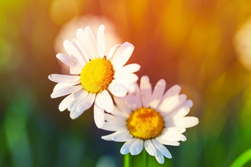 春天草甸太阳的春黄菊 特写镜头 免版税库存图片