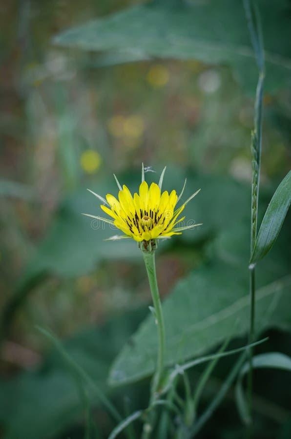 春天草甸黄色花在图片的中心 绿色叶子和草在背景中 E r 免版税库存照片