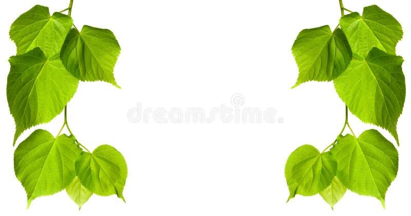 download 春天菩提树树叶子 库存图片.图片