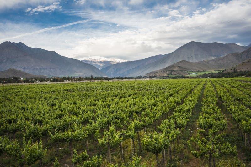 春天葡萄园, Elqui谷,安地斯,智利 库存照片