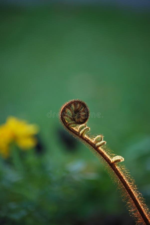春天蕨成长在新西兰 图库摄影