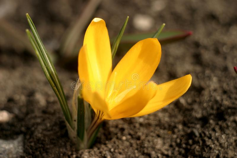 春天装饰花明亮黄色,小,番红花 免版税图库摄影
