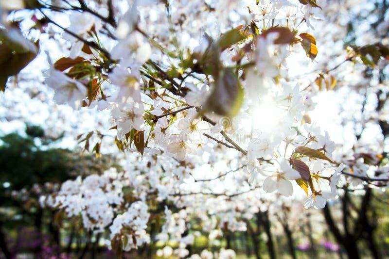 春天边界摘要blured与桃红色佐仓或樱花的背景艺术 与开花的美好的自然场面 免版税库存图片
