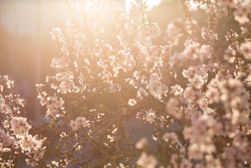 春天进展的扁桃背景 库存图片