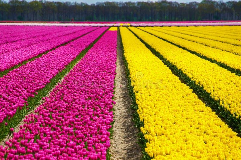 春天郁金香在荷兰,春天五颜六色的花,荷兰调遣 免版税库存照片