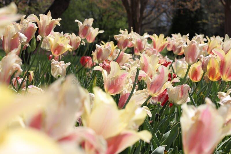 春天郁金香绽放美丽的庭院  免版税图库摄影
