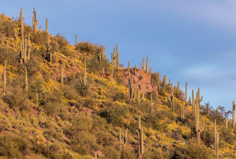 春天野花在亚利桑那沙漠 库存图片