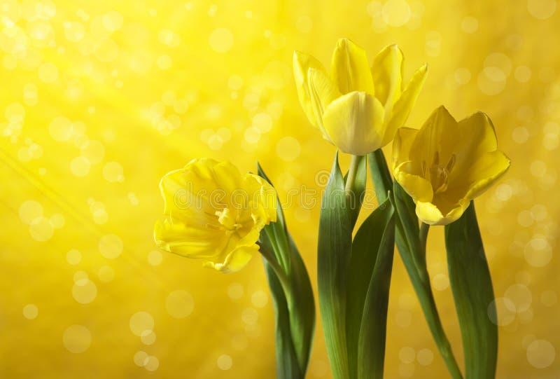 春天阳光郁金香黄色 库存照片