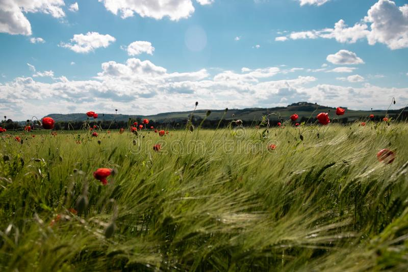 春天黑麦,与明亮的红色鸦片花的钉的绿色领域反对与豪华的白色云彩的天空蔚蓝 r 免版税库存图片
