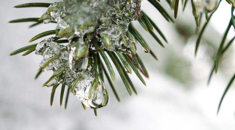 春天,冰柱,熔化的冰,在冰的绿色冷杉分支与熔化雪关闭下落  免版税库存图片