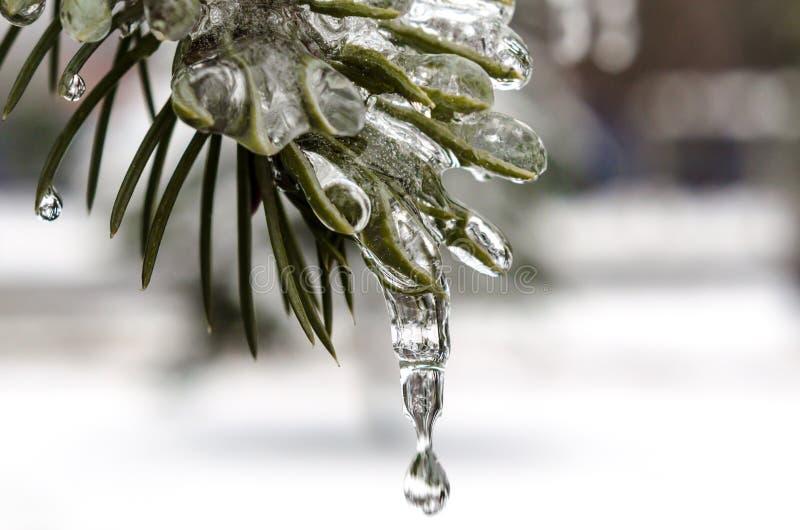 春天,冰柱,熔化的冰,在冰的绿色冷杉分支与熔化雪关闭下落  免版税图库摄影