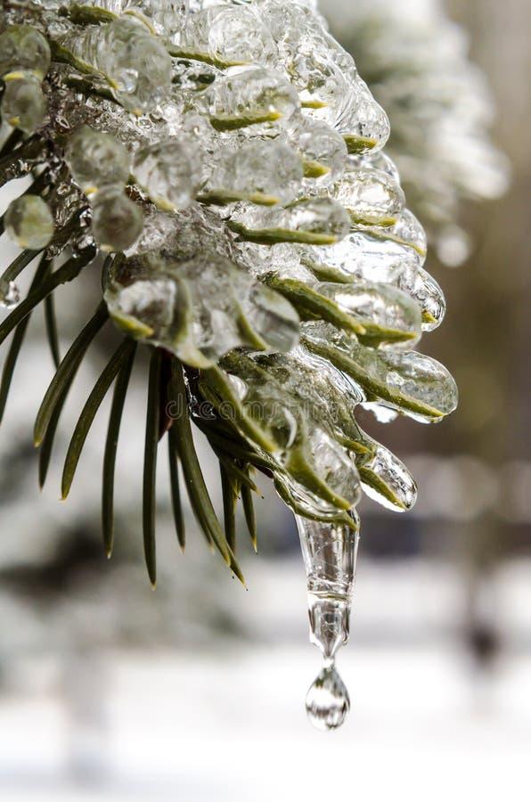春天,冰柱,熔化的冰,在冰的绿色冷杉分支与熔化雪关闭下跌的下落  库存照片