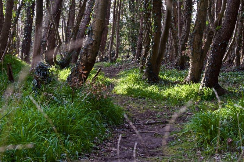 春天,爱尔兰森林道路 免版税库存图片