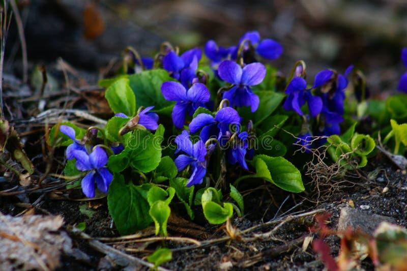 春天,第一朵花紫罗兰,春天开花 免版税库存图片